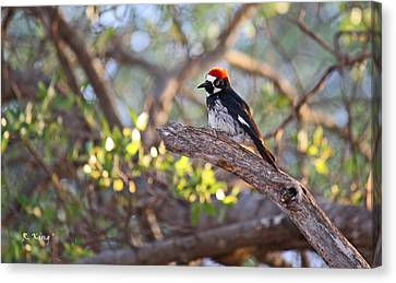 Acorn Woodpecker On A Branch Canvas Print