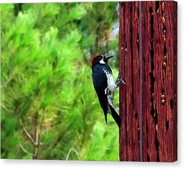 Acorn Woodpecker Canvas Print by Timothy Bulone
