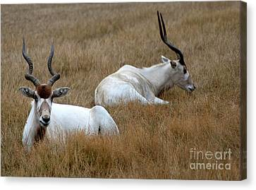 Canvas Print featuring the photograph Addax Antelope Duo by Charles Lupica
