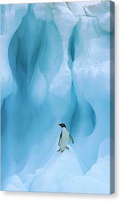 Adelie Penguin Pygoscelis Adeliae Canvas Print by Colin Monteath