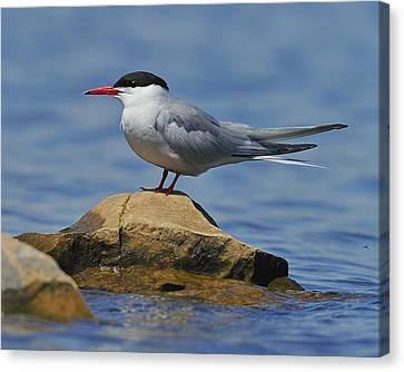 Hirundo Canvas Print - Adult Common Tern by Tony Beck