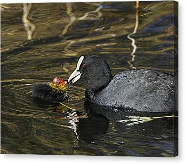 Adult Coot Feeding Its Chick Canvas Print by Duncan Shaw