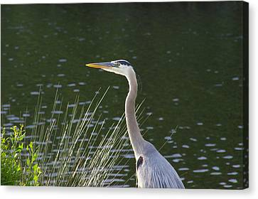 Canvas Print featuring the photograph Adult Great Blue Heron by Brian Wright