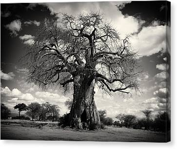 African Baobabs Tree Canvas Print by Jess Easter
