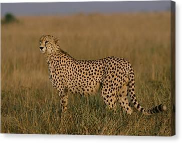 African Cheetah Acinonyx Jubatus Canvas Print by Michael Nichols