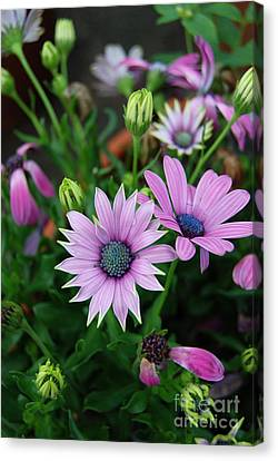 Canvas Print featuring the photograph African Daisy by Eva Kaufman