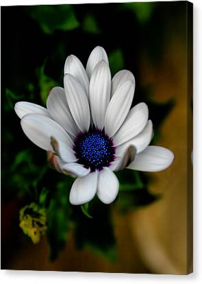 Canvas Print featuring the photograph African Daisy by Lynne Jenkins