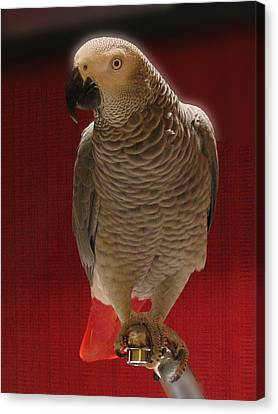 African Grey Parrot Orteil Blanc Canvas Print by Jonathan Whichard