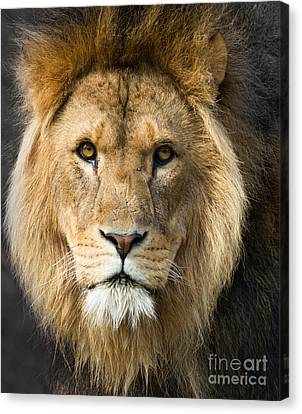 African Lion Canvas Print by Andrew  Michael