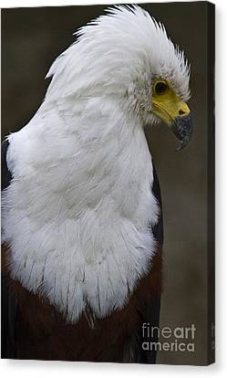 African Sea Eagle 5 Canvas Print by Heiko Koehrer-Wagner
