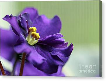 Canvas Print featuring the photograph African Violet by Denise Pohl