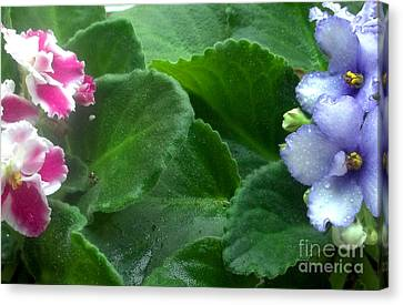 African Violets Intertwined II Canvas Print by Nancy Mueller