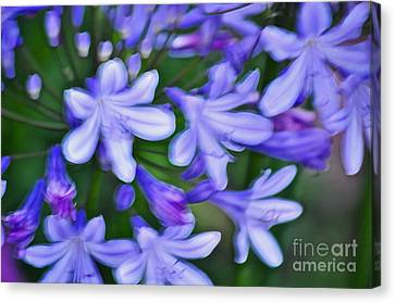 Agapanthus Canvas Print by Gwyn Newcombe