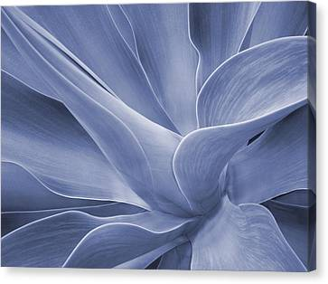 Agave In Blue Canvas Print