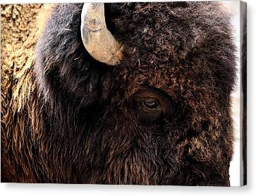 Canvas Print featuring the photograph Ageless Bison Of Yellowstone by Yeates Photography