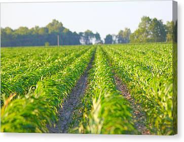 Agriculture- Corn 1 Canvas Print