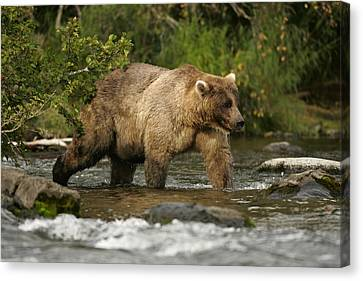 Alaskan Brown Bear Ursus Arctos Walking Canvas Print by Roy Toft