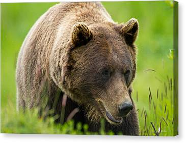Alaskan Grizzly Canvas Print by Adam Pender