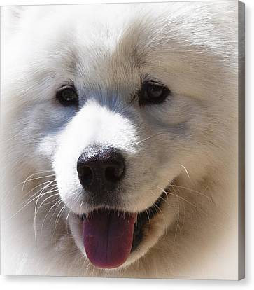 Malamute Canvas Print - Alaskan Malamute II by David Patterson