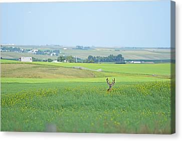 Alberta White Tail Canvas Print