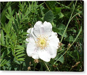 Alberta Wild Prickly White Rose Canvas Print by Mark Lehar