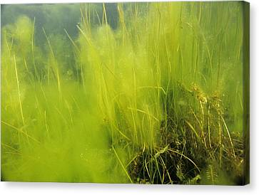 Algae Canvas Print by Alexis Rosenfeld