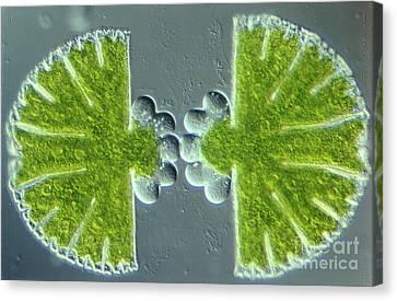 Algae Binary Fission Canvas Print