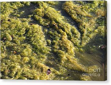 Algae Bloom In A Pond Canvas Print by Photo Researchers, Inc.