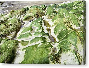 Algae Covered Rocks Canvas Print by Georgette Douwma