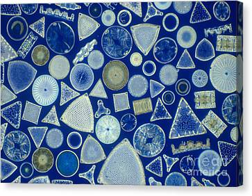 Algae, Fossil Diatoms, Lm Canvas Print by M. I. Walker