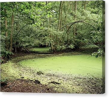 Algal Bloom In Pond Canvas Print by Michael Marten