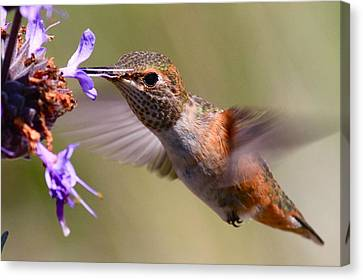 Allen's Hummingbird Canvas Print