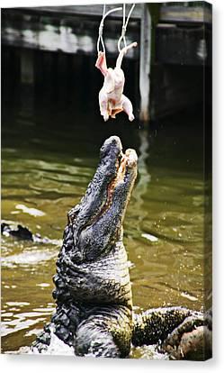 Alligator Feeding Canvas Print by Garry Gay