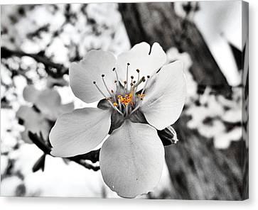 Almond Blossom Canvas Print by Marianna Mills