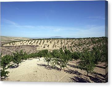 Almond Plantation Canvas Print by Carlos Dominguez