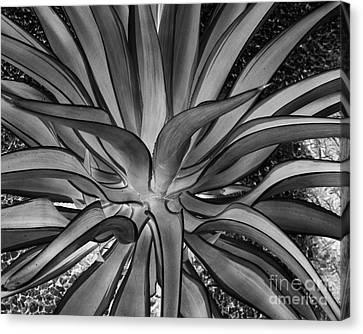 Aloe Black And White Canvas Print by Rebecca Margraf