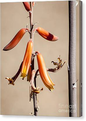 Aloe Flower And Stem Canvas Print by Darcy Michaelchuk
