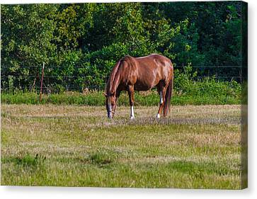 Alone In The Pasture Canvas Print by Doug Long