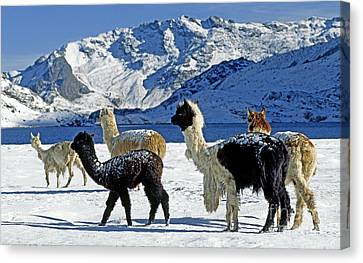 Canvas Print featuring the photograph Alpacas In The Snow - Peruvian Andes by Craig Lovell