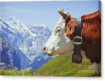 Alpine Cow Canvas Print by Greg Stechishin