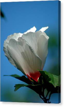 Althea Flower Canvas Print by David Weeks