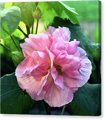 Althea Canvas Print - Althea Rose Of Sharon by Kevin Smith