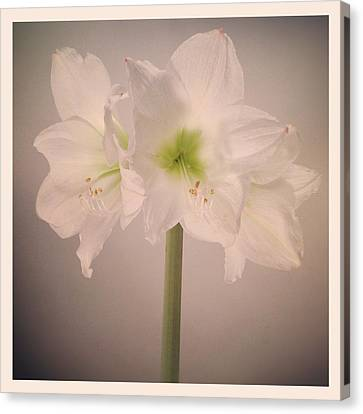 Amaryllis Flowers Canvas Print by Nathan Blaney