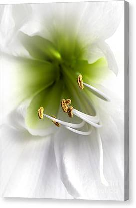 Anther Canvas Print - Amaryllis  by Jane Rix