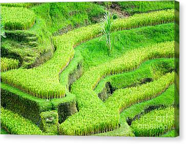 Canvas Print featuring the photograph Amazing Rice Terrace Field by Luciano Mortula