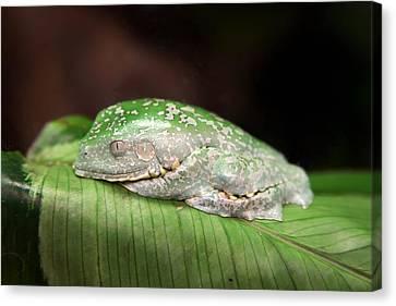 Amazon Leaf Frog Canvas Print by Brad Granger