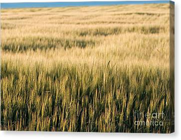 Amber Waves Of Grain Canvas Print by Cindy Singleton
