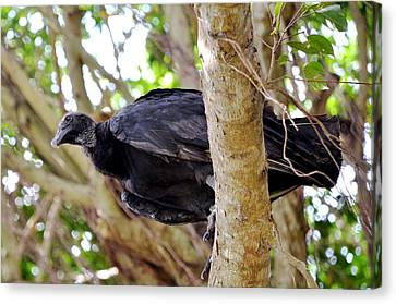 Canvas Print featuring the photograph Amercan Black Vulture by Pravine Chester