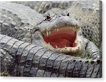 American Alligator Alligator Canvas Print by Tim Fitzharris