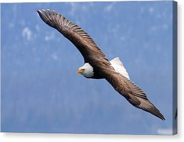 Canvas Print featuring the photograph American Bald Eagle by Doug Lloyd
